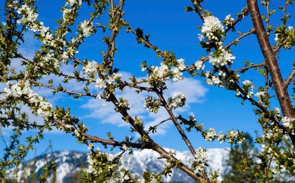 April - Orchards Bloom