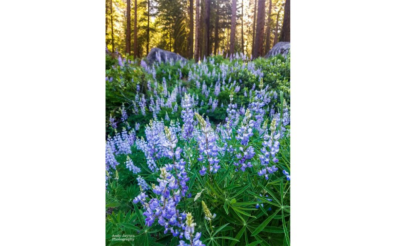 Lupine Blooming in the Sun - 2017
