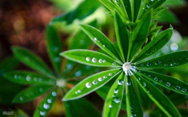 Lupine Leaves Waterdrops - 2013